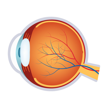 sclera: Illustration of a human eye cross section on the white background. Illustration