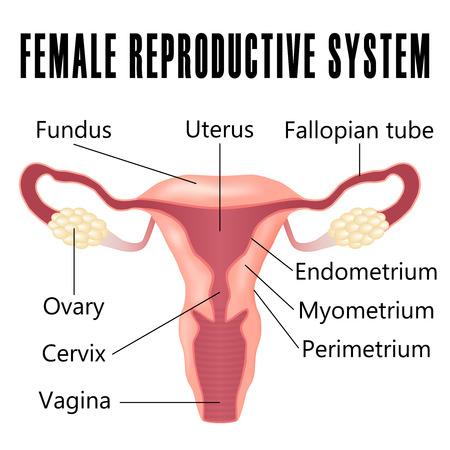feminino: sistema reprodutivo feminino, o esquema de útero e ovários.
