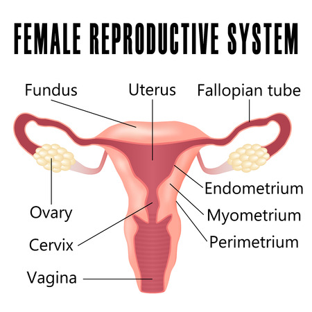 Female reproductive system, the uterus and ovaries scheme.