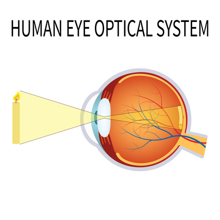 eye cross section: Illustration of the human eye optical system on the white background. Illustration