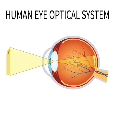 ojo humano: Ilustración del sistema óptico del ojo humano sobre el fondo blanco.