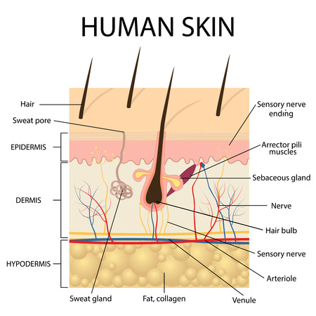 Illustration of human skin and hair anatomy.