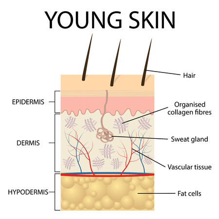 skin structure: Young skin. Collagen and elastin form the structure of the dermis making it tight and plump. Illustration
