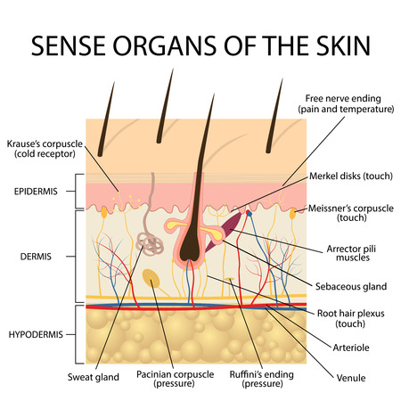 cross section human skin. Pressure, vibration, temperature, pain and itching are transmitted via special receptory organs and nerves. Stock Illustratie
