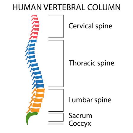 Diagramm einer menschlichen Wirbelsäule mit Namen aller Abschnitte der Wirbel.