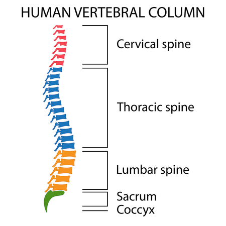 Diagram of a human spine with names of all sections of the vertebrae.