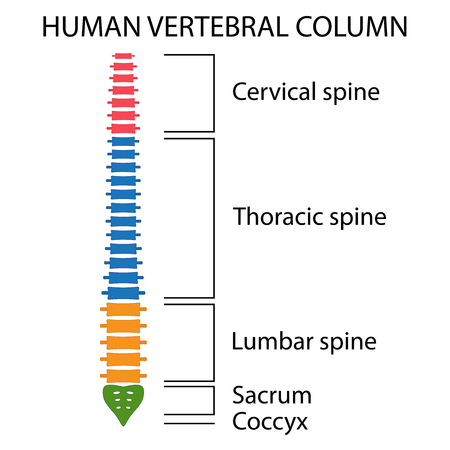 Vertebral Column spine structure of human body. View with all vertebrae groups. cervical, thoracic, lumbar, sacrum and coccyx. Illustration