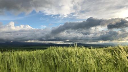 Tallos de trigo verde soplan en el viento. Campo de trigo natural. Campo de trigo de naturaleza buena con nubes en día soleado 4k Foto de archivo