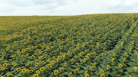 Sunflowers in the Field. Beautiful fields with sunflowers in the summer