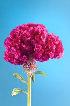 Traditionelle mexikanische Blume auf blauem Standard-Bild - 24824719