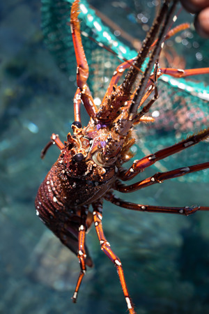 large lobster