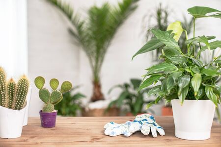 Conceptual photo of houseplants and gloves for cultivating at home.