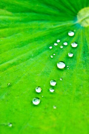 Drops of water on lotus leaf