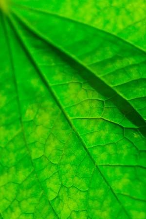 Fiber of leaf