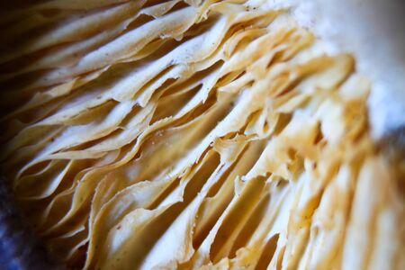 Closeup shiitake
