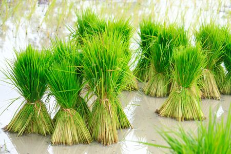 Rice plant on field