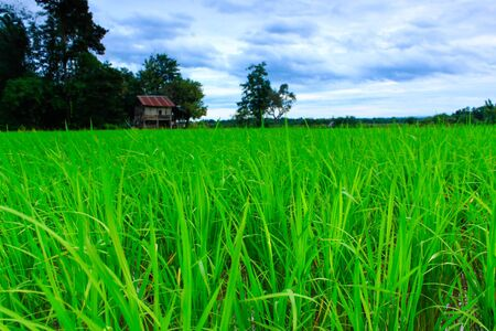Rice plant in countryside