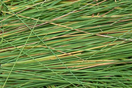 Close up rice plant Stock Photo