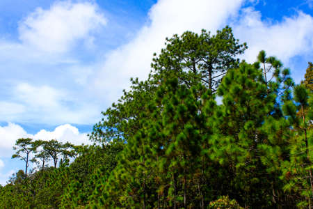 Pine and blue sky Stock Photo