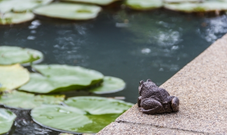 Asian big toad prepares for jumping to the water lily pond  photo