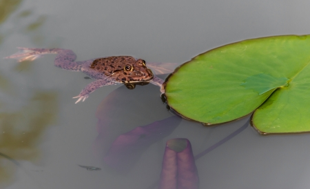 Asian big toad is swimming and searching the preys in the water lily pond  Stock Photo - 14483697