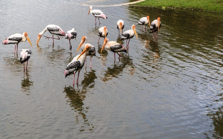Flock of Painted Stork is fishing in the Lake  Ibis leucocephalus  Stock Photo - 16465606