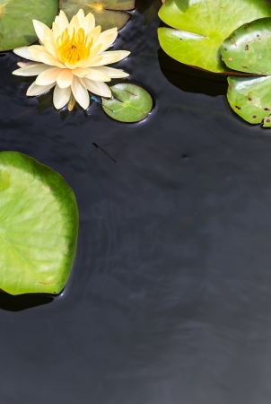 Water Surface with Floating Yellow Water Lily and Green Leaves photo