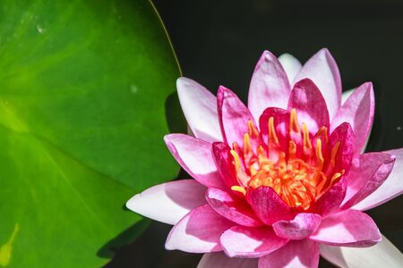Red Water Lily  Nymphaea spp   Common name   Attraction Stock Photo - 16952454