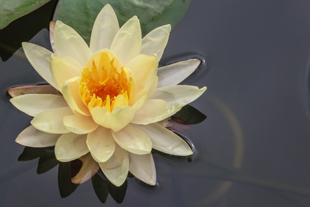 Yellow Water Lily Floating in Pond, Closeup photo