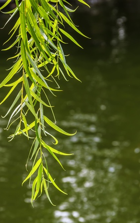 Green Branches of Willow over Water, Nature Shoot Stock Photo - 16952453