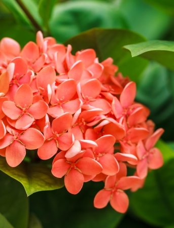 Bunch of Red Ixora, West Indian Jasmine  Ixora, spp  , Closeup Stock Photo - 20457456