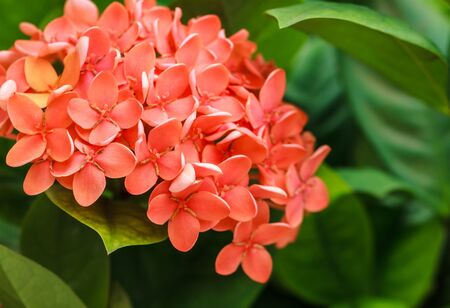 Bunch of Red Ixora, West Indian Jasmine  Ixora, spp  , Closeup Stock Photo - 20457458