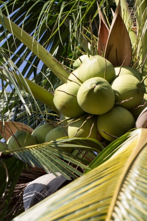 Green Coconut on Coconut Tree, Closeup, Vertical shot photo