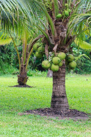 Coconut Tree, Dwarf variety in plantation Stock Photo - 20956104