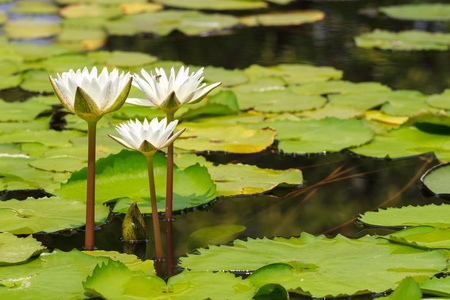 White Water Lily Blooming in Sunshine Day, Tranquil Nature Stock Photo