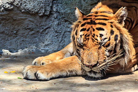 Sleeping Tiger in Sunlight photo