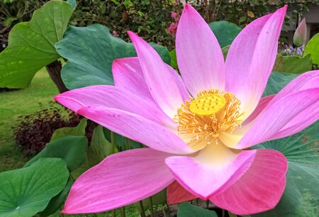 Blooming Pink Lotus Flower, Closeup