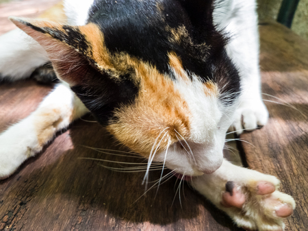 Beautiful Calico Cat cleaning itself in strange position. Animal portrait Closeup.