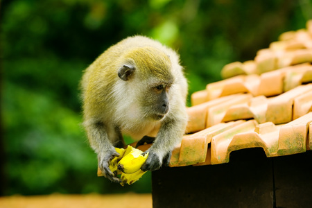 Mokey sits on top of roof eating a banana Stock Photo - 1675417
