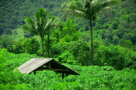 Roof of hut sticks out above foliage in plantation photo