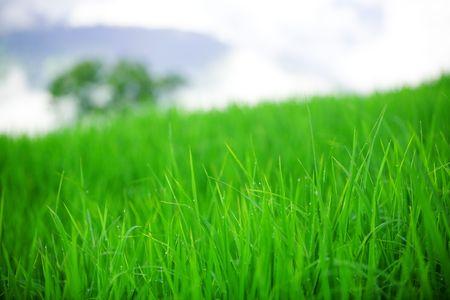 Temprano en la ma�ana de roc�o sobre la hierba del campo