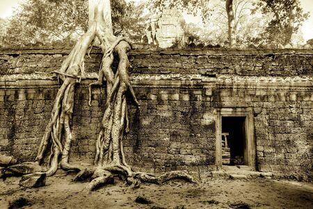 strangler: Giant Strangler Fig grows over temple wall Stock Photo