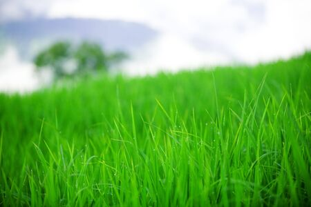 dew: Early morning dew on field of grass LANG_EVOIMAGES