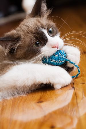 Household cat playing with chew toy Stock Photo - 2966727