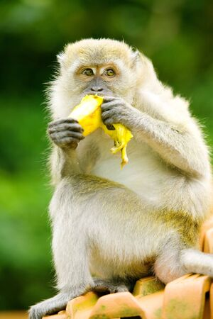 Mokey sits on top of roof eating a banana Stock Photo - 2966728