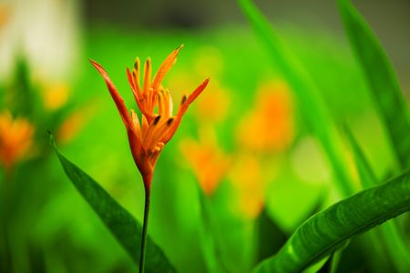 Beautiful vivid orange flower - Bird of paradise Stock Photo - 3455025