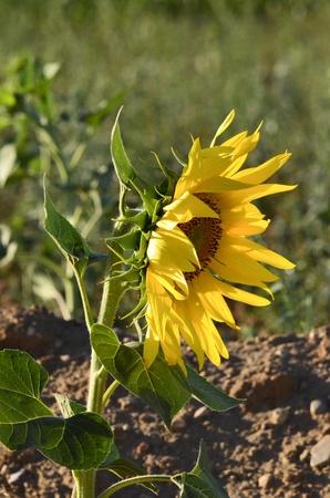 castilla la mancha: Sunflower Castilla La Mancha