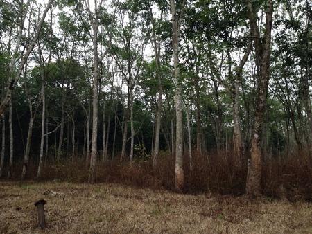 taper: Latex tree