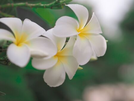 panicle: White flower of Thailand Stock Photo