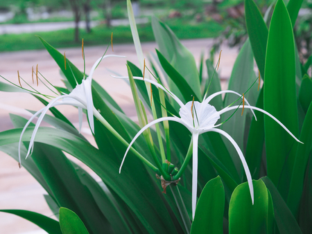 lobe: White flower of Thailand Stock Photo